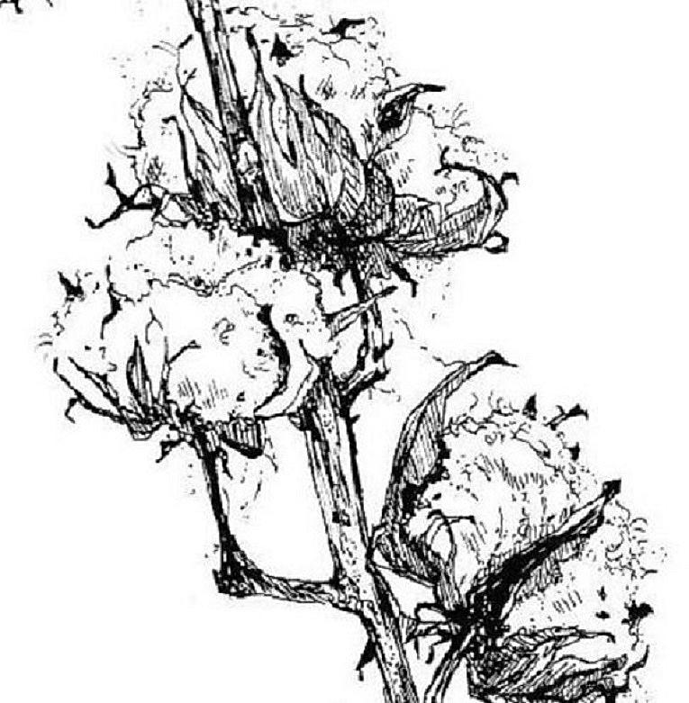 Dessin Encre De Chine Fleur De Coton C Est La Ouate Que J Prefere
