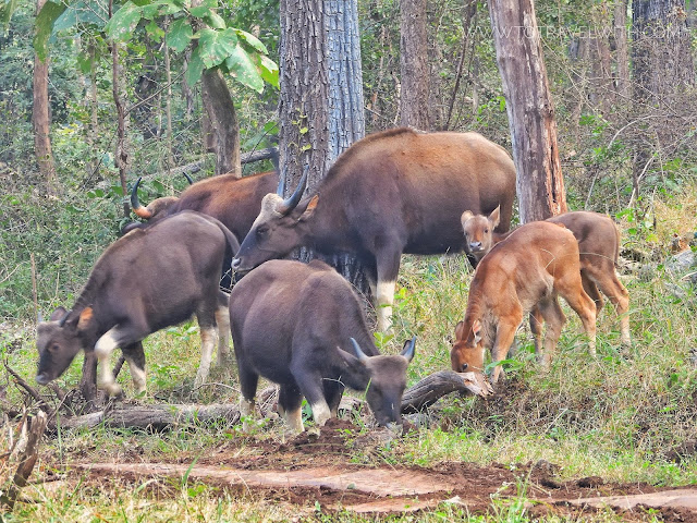 Gaur or Indian Bison