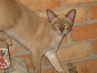 Sejarah Ras Kucing Mandalay