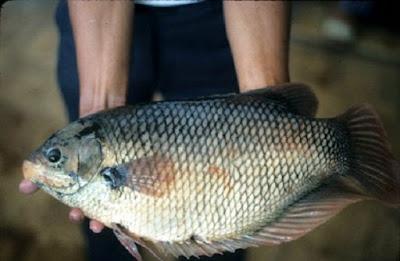 Cara mempercepat dan meningkatkan hasil panen ikan gurami - pustakapengetahuan.com
