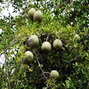 Manfaat kesehatan dari Apel kayu wood apple