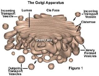 Badan Golgi (Aparatus Golgi) dan keterangannya
