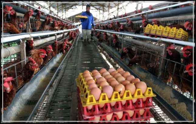 Cara Budidaya Ternak Ayam Petelur (Layer) Agar Hasil ...