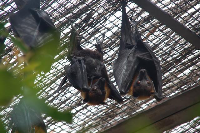 Zorros voladores