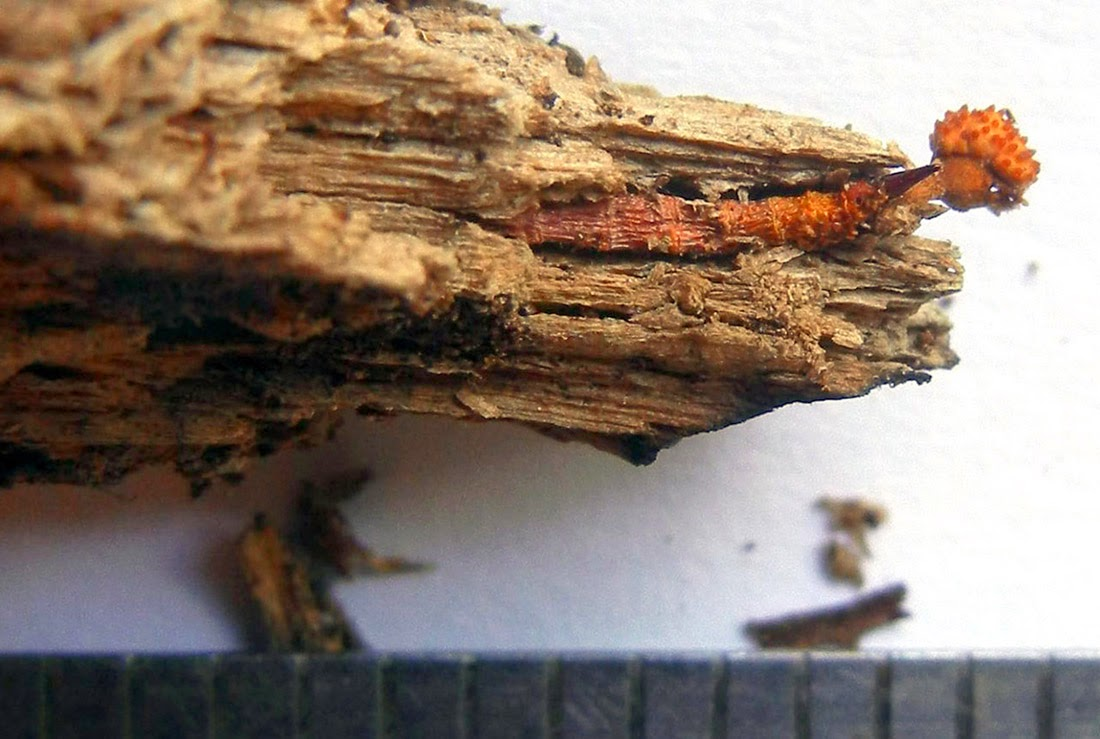 Cordyceps variabilis and larva