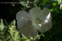 http://fineartfotografie.blogspot.de/2013/08/weier-hibiskus-bluht.html