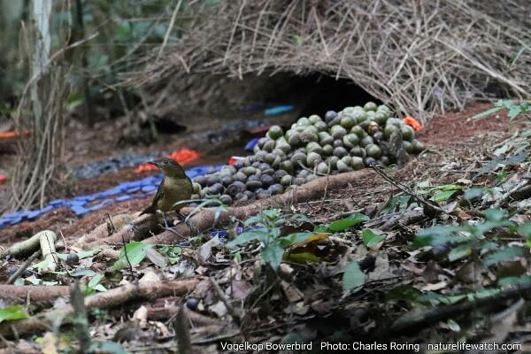 Burung pintar (Amblyornis inornata) di Pegunungan Arfak Manokwari