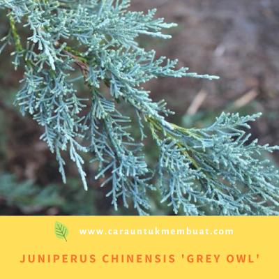 Juniperus Chinensis 'Grey Owl'