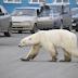 ΨΑΧΝΟΝΤΑΣ ΓΙΑ ΛΙΓΟ ΦΑΓΗΤΟ! Πολική αρκούδα τριγύριζε σε πόλη