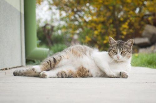 Ciri-Ciri Kucing Hamil dan Akan Melahirkan