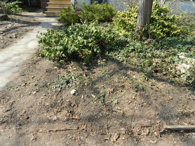 Riverdale Spring Front Yard Cleanup After by Paul Jung Gardening Services--a Toronto Organic Gardening Company