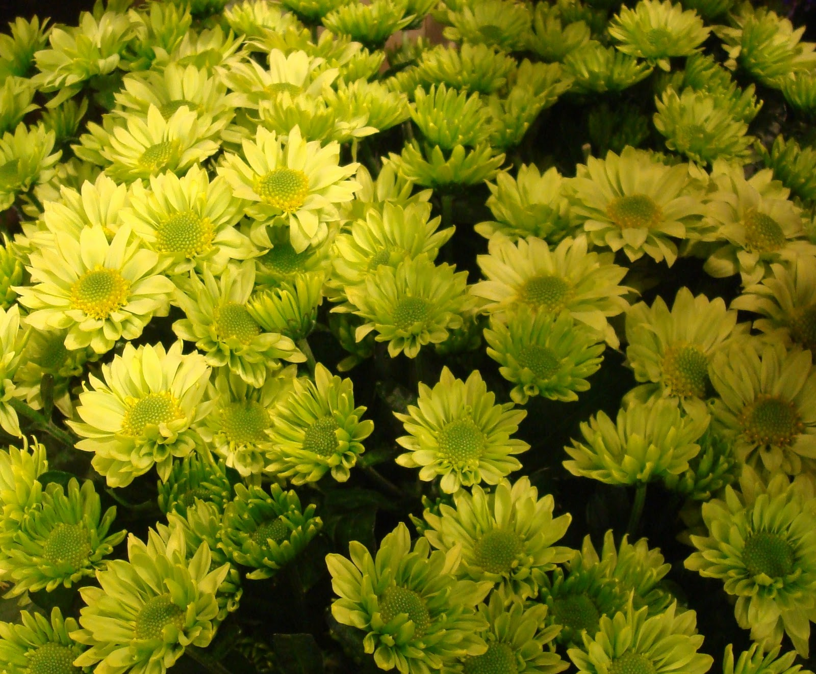 fleuriste isabelle feuvrier deux nouvelles vari t s de fleurs vertes en boutique cette semaine. Black Bedroom Furniture Sets. Home Design Ideas