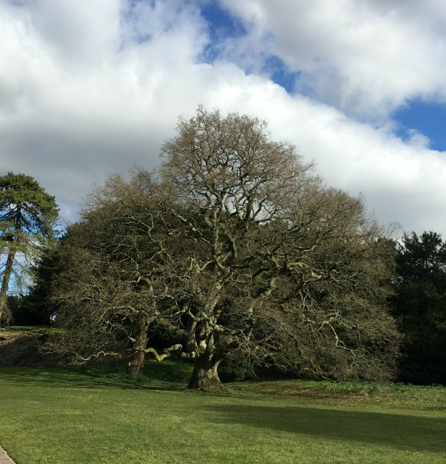 A magnificent oak tree fills the frame
