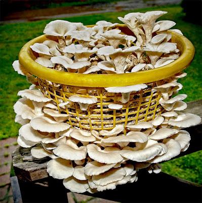 Mushroom Supplier Company in Pune