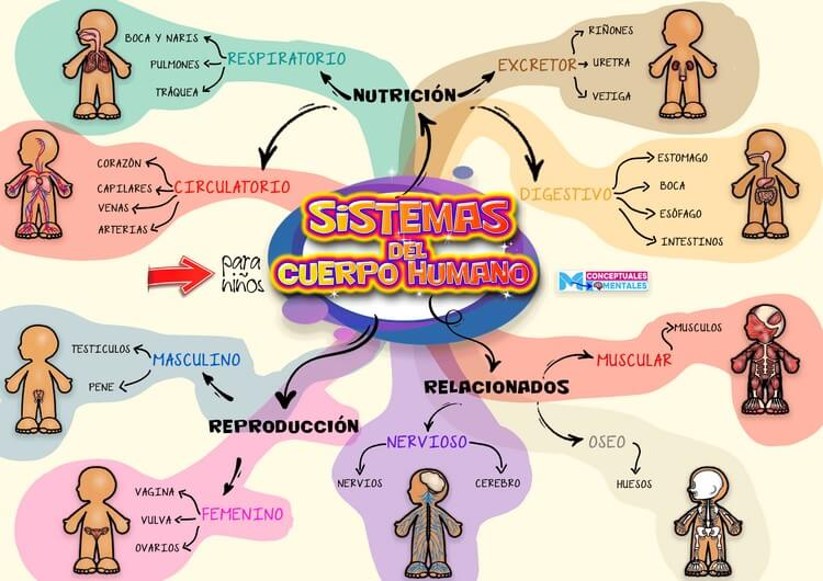 Mapa Mental del Cuerpo Humano para Niños
