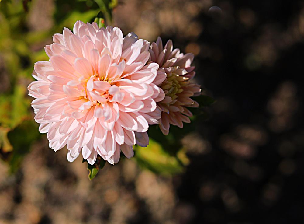 gardening-pink-flower-mississippi-grower