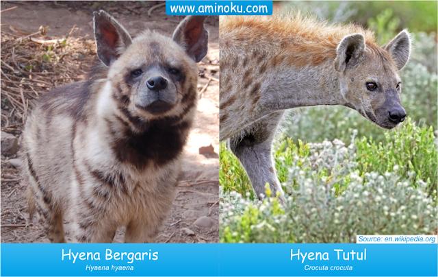 Perbedaan Hyena Tutul dan Hyena Bergaris