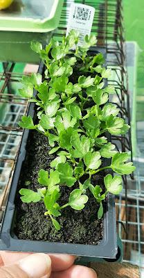 Celeriac Seedlings