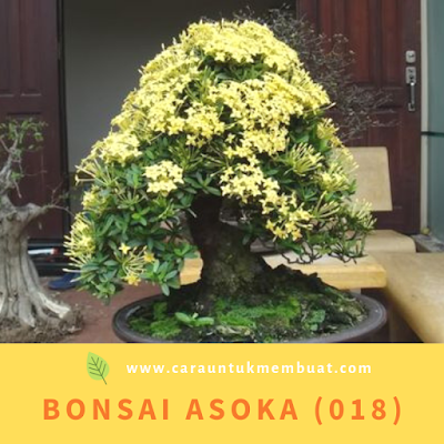 Bonsai Asoka (018)