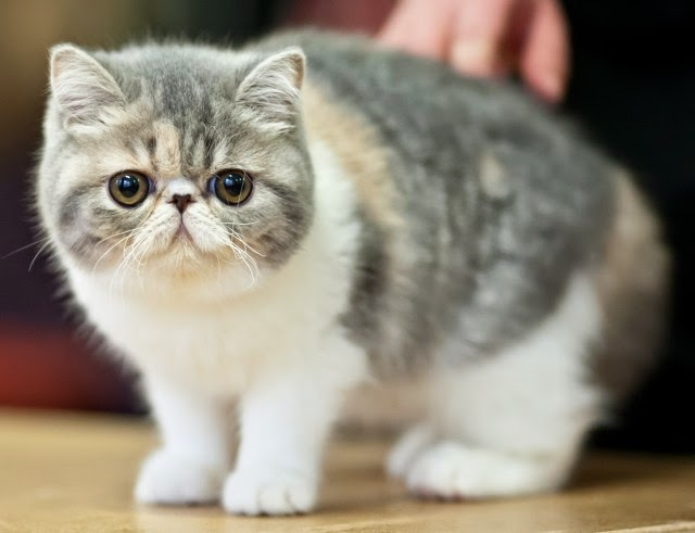 The Gifted Pet ♥: Cats Breeds 101 ~ Exotic Shorthair