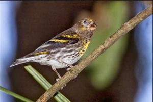 Jenis Burung Kicau yang Dilindungi Di Indonesia 9 Jenis Burung Kicau yang Dilindungi Di Indonesia