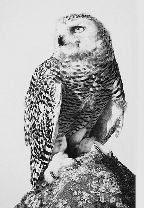11-Snowy-and-Lichens-Snowy-Owl-William-Bill-Harrison-Majestic-Wildlife-Carbon-Pencil-Drawings-www-designstack-co