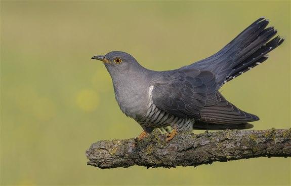 Guguk kuşu - G Harfi ile Hayvan İsimleri