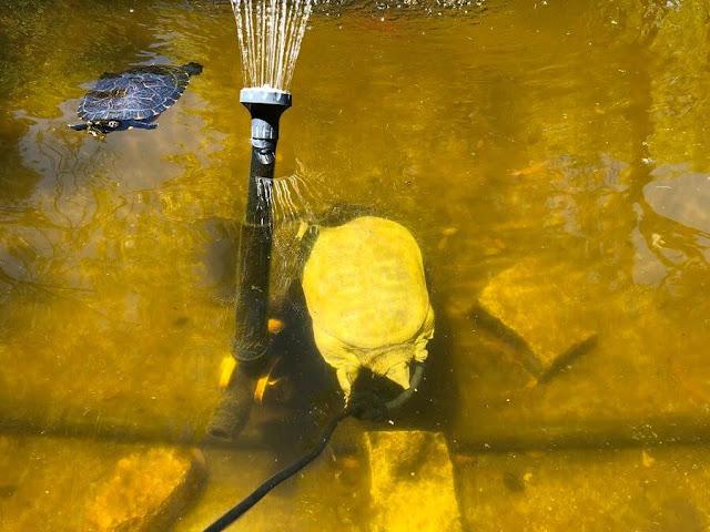 Tartaruga-de-carapaça-mole-chinesa ( Chinese softshell turtle )
