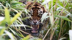 Tại sao Hổ gầm gừ với con mồi ngay trước khi vồ?