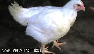 Cara Mempercepat Pertumbuhan Ayam Pedaging Dengan SOC