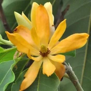 सोनचाफा, Magnolia Champaca Flowers Name In Marathi