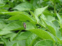 紅娘(てんとう虫)幼虫