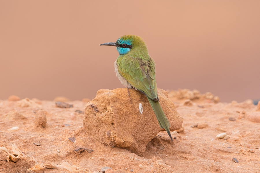 Arabian Bee-eater