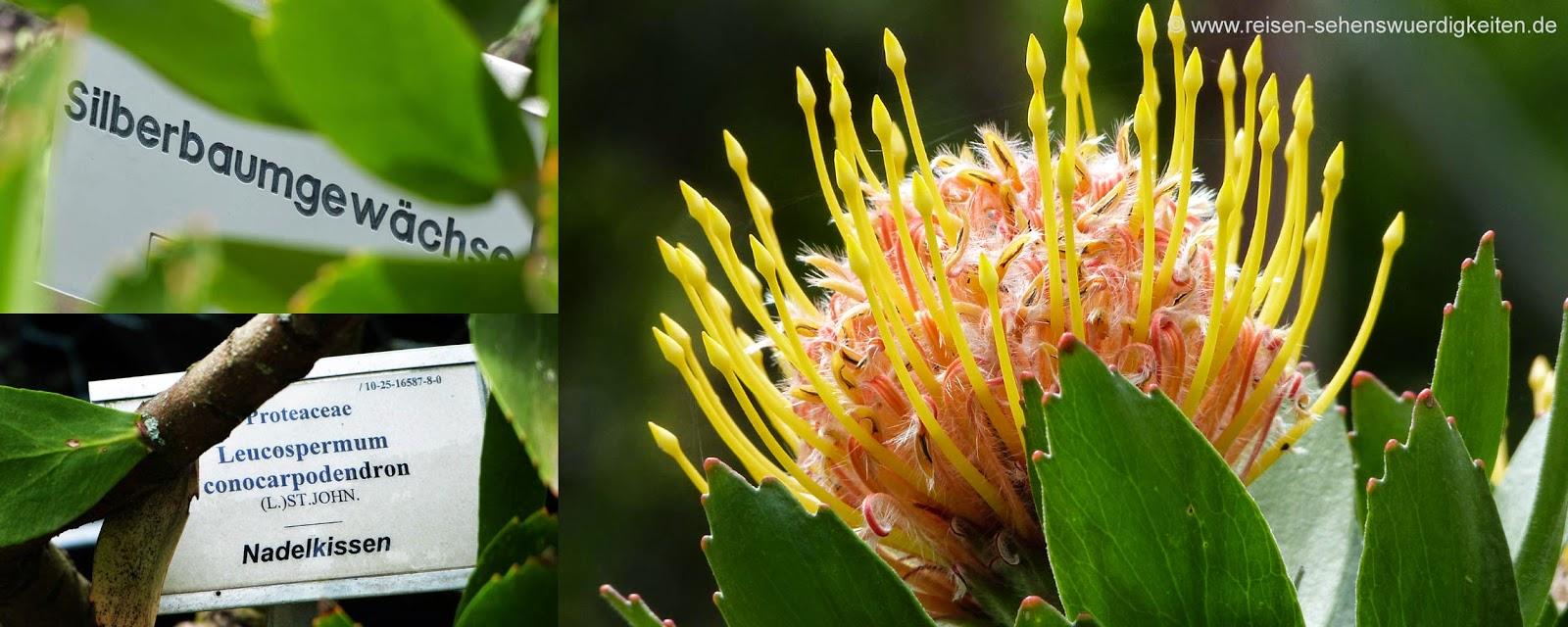 Silberbaumgewächs, Nadelkissen, Botanischer Garten