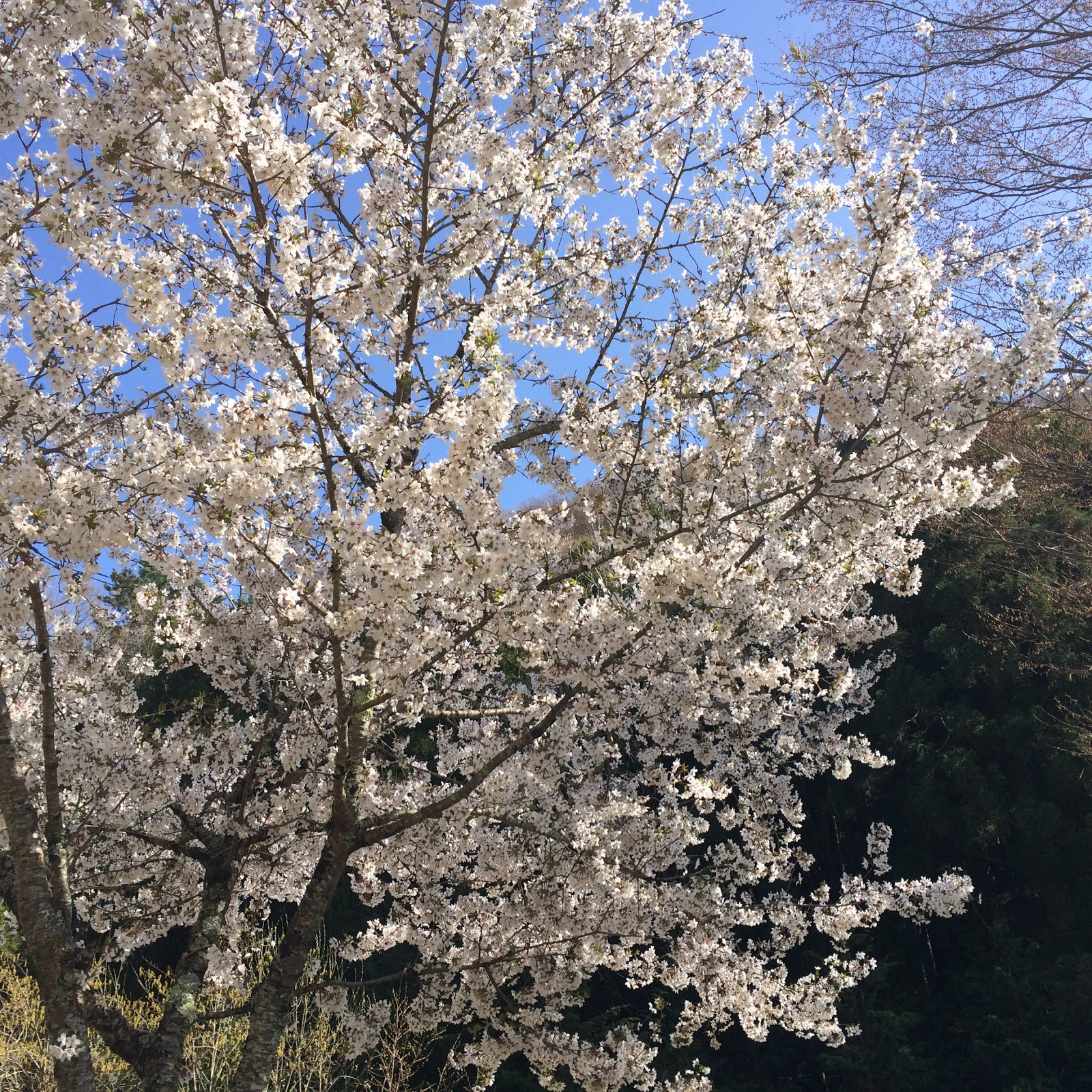 iphone5s 桜