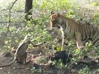 Dijatuhkan dari Pohon, Ini yang Dilakukan Harimau pada Monyet