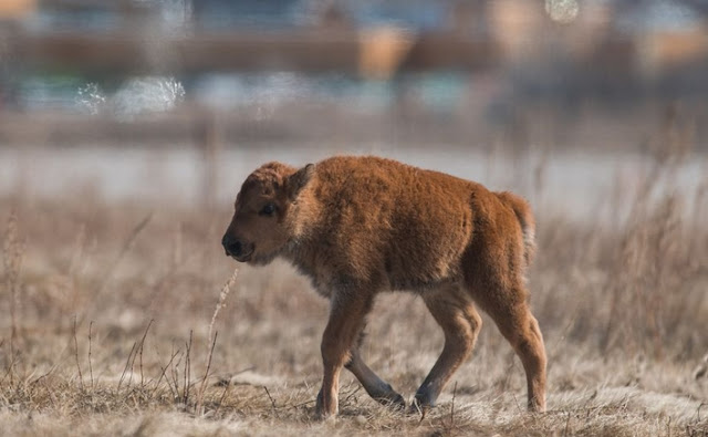 Wanuskewin Heritage Park welcomes 1st baby bison since 1876