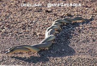 couple rat snake