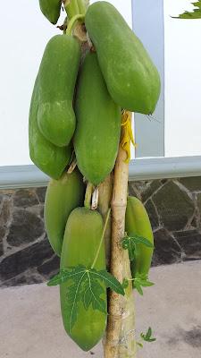 Papaya (Malago) - มะละกอ