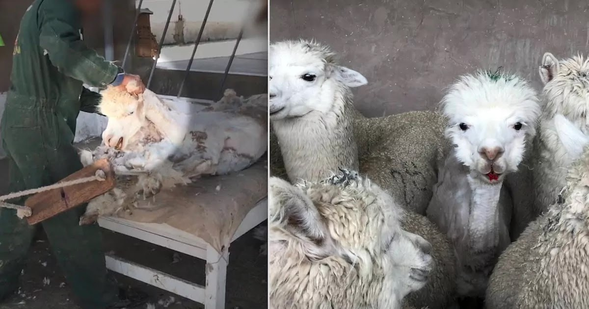 Anger After Undercover Video From PETA Reveals Horrifying Treatment Of Alpacas On Peruvian Wool Farms