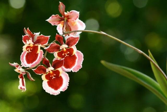 Gambar Bunga Anggrek Onchidium