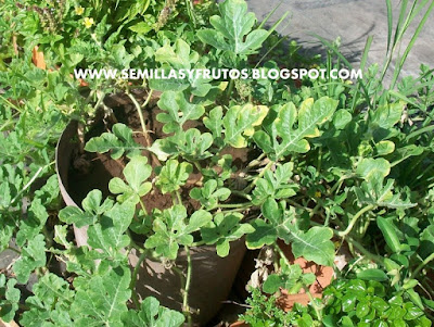 Citrullus lanatus, patilla o sandia