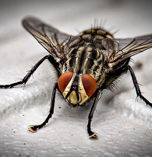 Hama Lalat