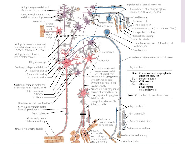 NEURONAL CELL TYPES
