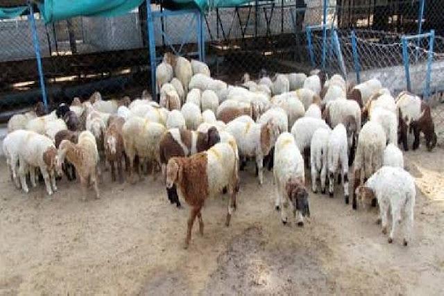 प्रेमी ने प्रेमिका के बदले उसके पति को दी 71 भेड़ें, जानिए पूरा मामला!