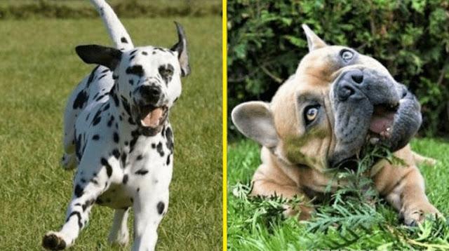 Как выглядит щенок, у которого мама — бульдог, а папа — далматинец