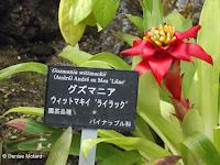 Guzmania, a Bromeliad plant - Kyoto Botanical Gardens Conservatory, Japan