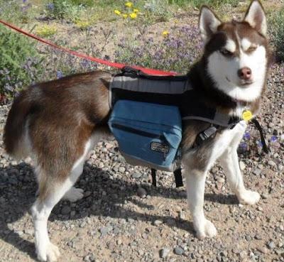 Flashback Friday Blog Hop!  Photo of my Siberian Husky Icy hiking at Phoenix North Mountain