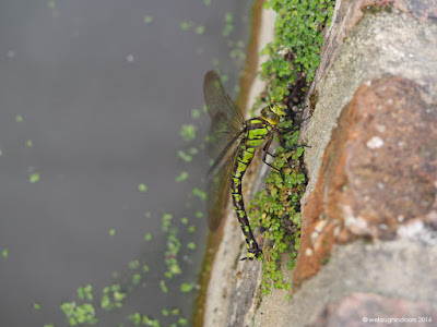 Southern Hawker Dragonfly laying eggs Aeshna cyanea