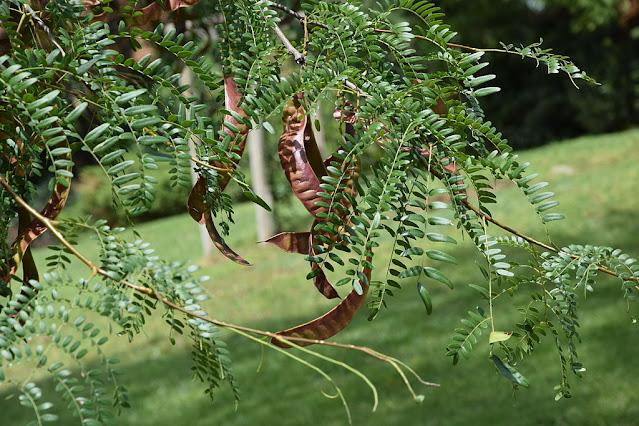 Vainas de Gleditsia, árbol urbano y de jardín